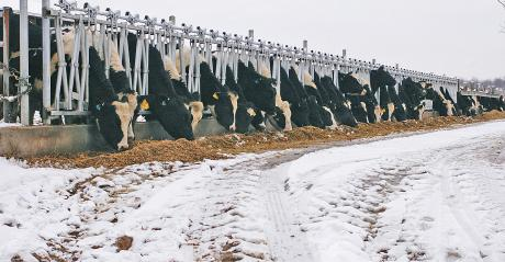row of Holsteins feeding in stanchions