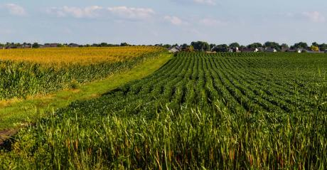 Corn and soybean rows with grassy field road between them.