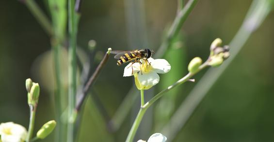 Boosting oilseed production with help from busy bees