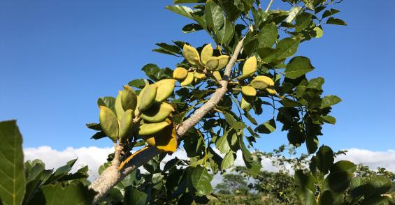 Pongamia trees hold promise as protein crop
