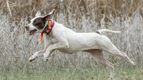 National Champion of Bird Dogs Crowned