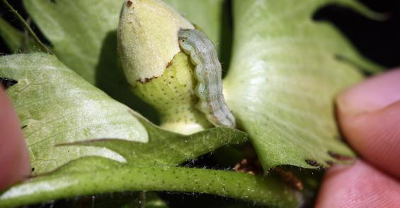 Insecticide sprays may still be needed for three-gene cotton