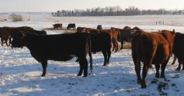 cattle in snow covered field