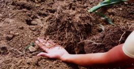 Long roots of corn plant in the field are held in a farmer's hand