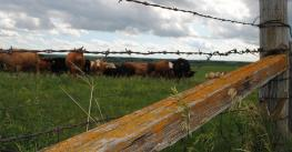 barbed wired fence with cattle in background