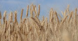 closeup of ripe wheat against blue sky