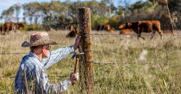 man repairing fence with cattle in background