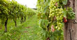 green grapes in vineyard