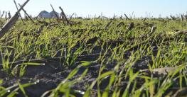 cover crop at ground level