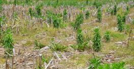 field of weeds and corn residue