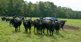 A group of angus graze in a pasture