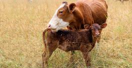 red cow and calf