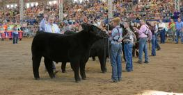 steer show at Illinois State Fair