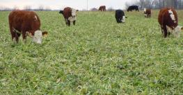 cows grazing on cover crops