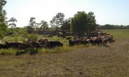 Cattle under high-stock-density grazing management