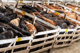 Cattle at an auction