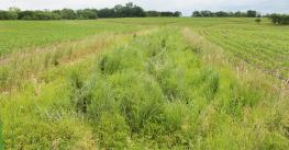 Strips of native prairie grass