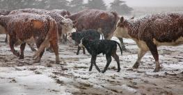 beef cows and calves in snow