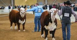 Exhibitors at work in the supreme beef competition at the Pennsylvania Farm Show