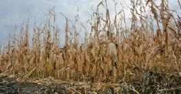 row of unharvested corn on the stalk