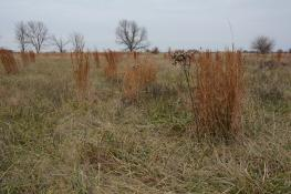 broomsedge plants in fescue