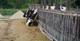 Cows line up to eat silage outdoors