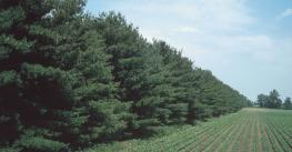 pine trees creating windbreak