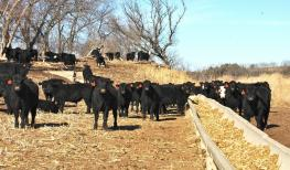 Cattle at a feed bunk on pasture