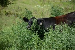 Cow eating lambsquarter weeds