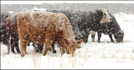 Mother cows are spending their first day in the calving pen. Heavy snowfall.