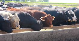 The morning sun illuminates these cattle in a feedlot in western Iowa on a summer day.