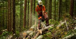 Forest Worker Thinning Trees