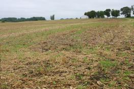 Cover crops on an Iowa field.