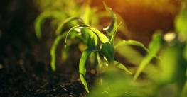 Young small corn plant seedlings in soil, macro shot with selective focus