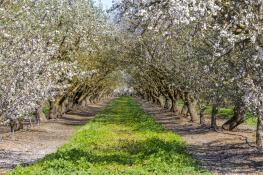 almond-orchard-afternoon-CA-GettyImages-519002582.jpg