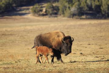 A bison cow and her calf