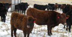 Cows and calves together in winter pasture