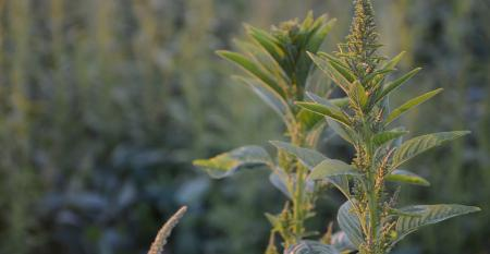 Waterhemp