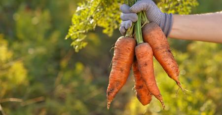 hand with bunch of carrots