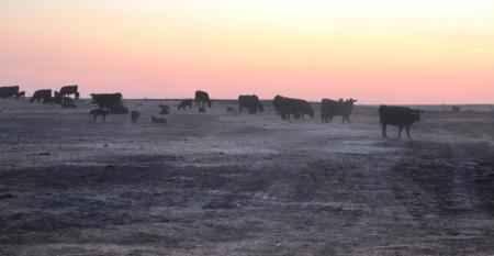 Cattle walk in the charred pastures in the aftermath of the Starbuck Fire
