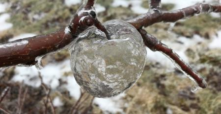 frozen icicle apples