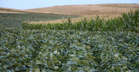 green soybeans and corn in field