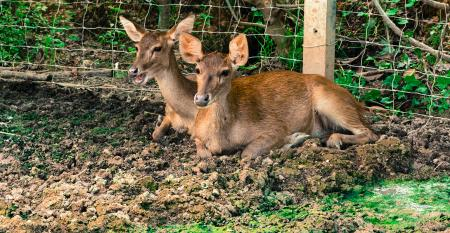 two deer lying by fence