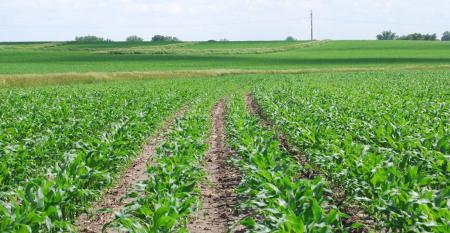 young corn plants in field