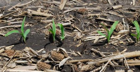 No-till and cover crops with corn plants emerging