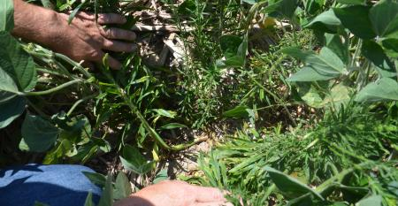 marestail plants under soybeans