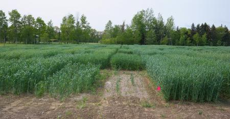 Research plot of winter triticale, winter hybrid rye and winter barley as forage crops