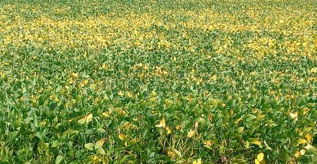 field of ripening soybeans
