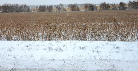 snow-covered soybean plants