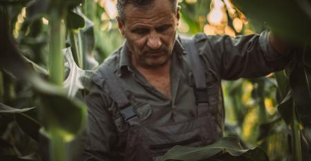 farmer looking downward, surrounded by green cornstalks